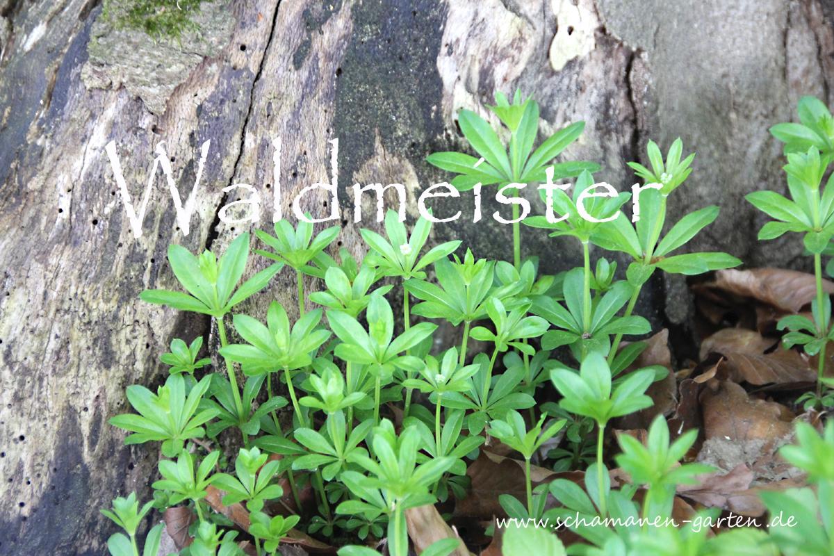 Waldmeister, Heilwirkung,