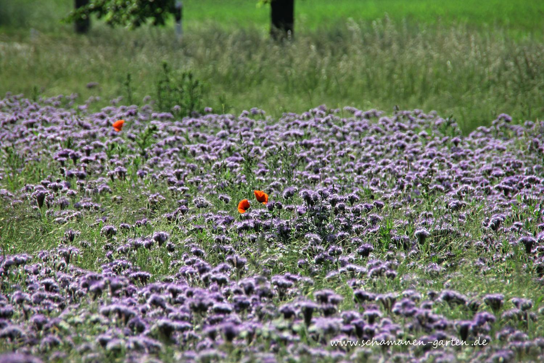 Bienenweide Phacelia