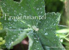 Frauenmantel, Heilpflanze