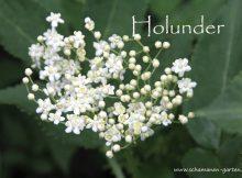Holunderblüte, Heilwirkung,