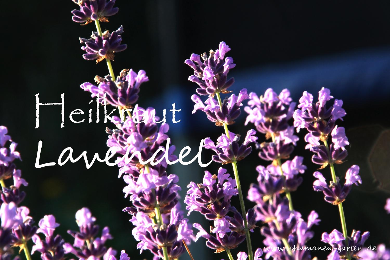 heilpflanze lavendel beruhigend und reinigend. Black Bedroom Furniture Sets. Home Design Ideas