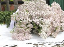 Heilpflanze Schafgarbe Heilwirkung
