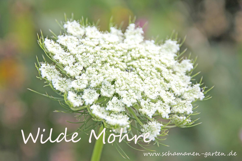 Wilde Möhre Heilwirkung Heilpflanze