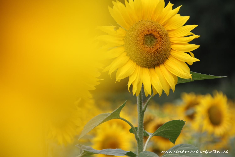 Herbst, Rituale, Tag- und Nachtgleiche, Im Bild:Blühende Sonnenblumen