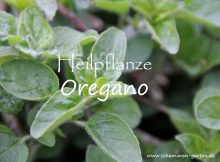 Heilpflanze Oregano